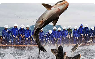 选定国家一级水体水库,精选4斤以上7年生的野生鱼头